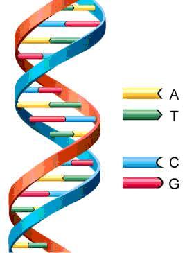 Adn Genes Cromosomas Dciencia
