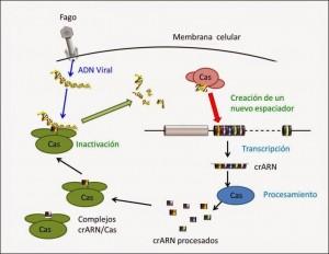 Proceso CRISPR