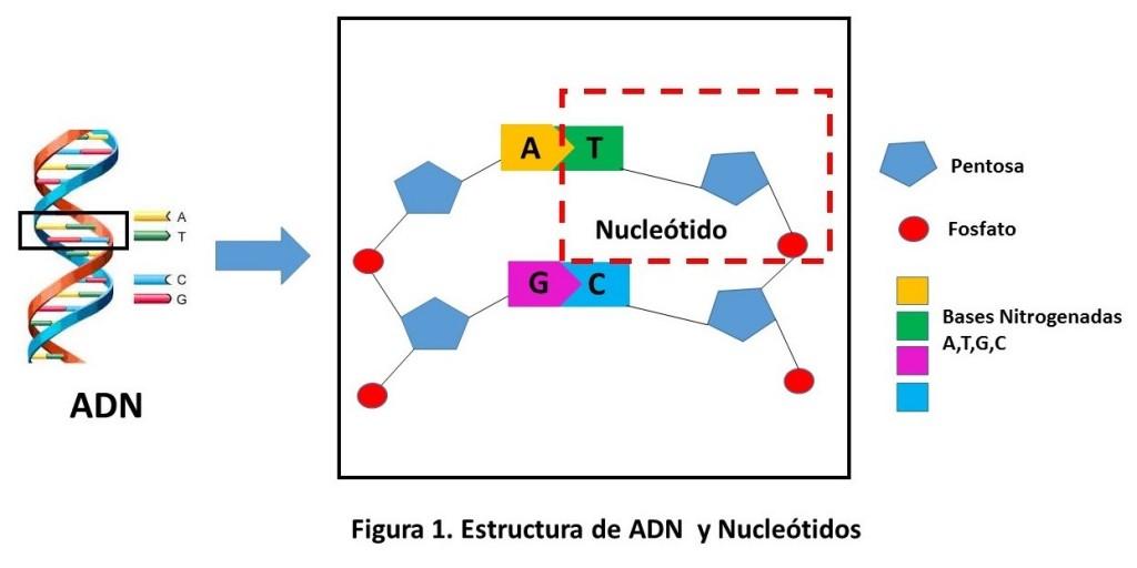 Una Molecula De Adn Esta Compuesta De Unidades Mas Pequenas Denominadas Nucleotidos Cada Nucleotido A Su Vez Esta Compuesto Por Una Azucar Sencillo