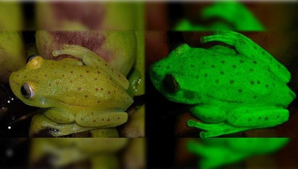 rana fluorescentes